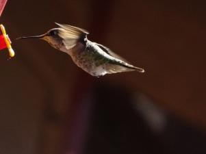 honeybird 2