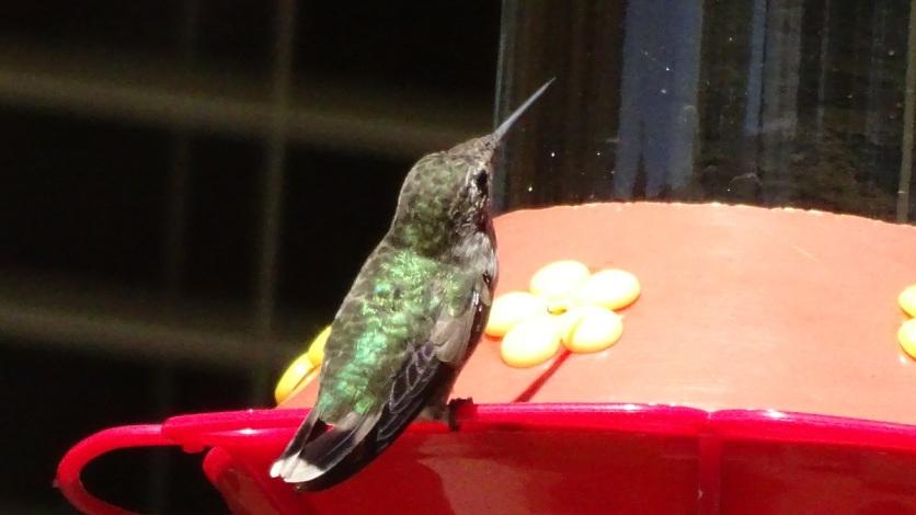 honeybird 4